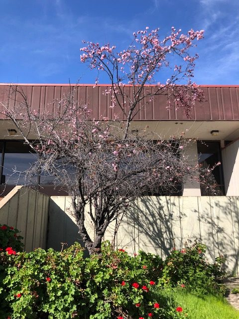 Cherry blossoms and geraniums are blooming at the east entrance to Northgate, facing Mt. Diablo, on a warm day in March.